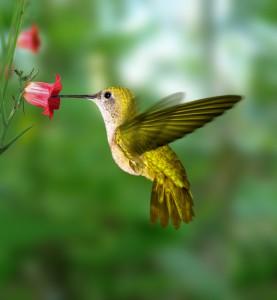 699hummingbird 277x300 Attracting Hummingbirds
