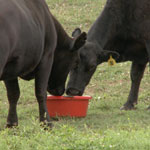 150sq cowstub1 Nutrition is Important Part of Good Herd Health Program