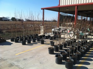 Fruit trees 300x224 Fruit Trees at McGregor!