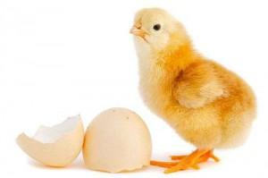 baby chick 300x199 Chick Days
