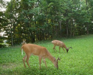 Deer eating Start your Food Plot Today!
