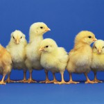 baby chicks 150x150 Baby Chicks Arrive March 4