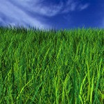 grass 150x150 Order Sudan Grass Seed Today