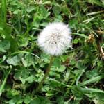 dandelion weed 150x150 Spring Weeds & Pre emergent