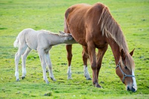 LactatingMareAndFoal 300x199 Feeding Lactating Mares