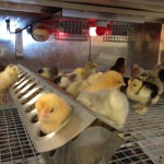 photo 150x150 Baby Chicks, Ducks and Rabbits at McGregor