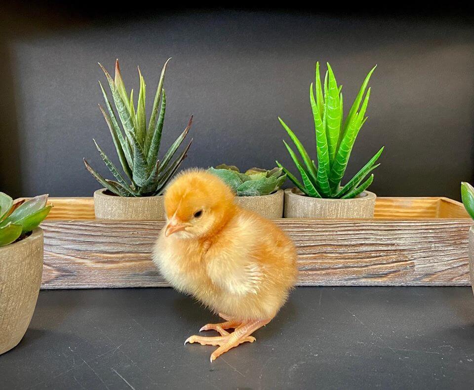 chicks chick